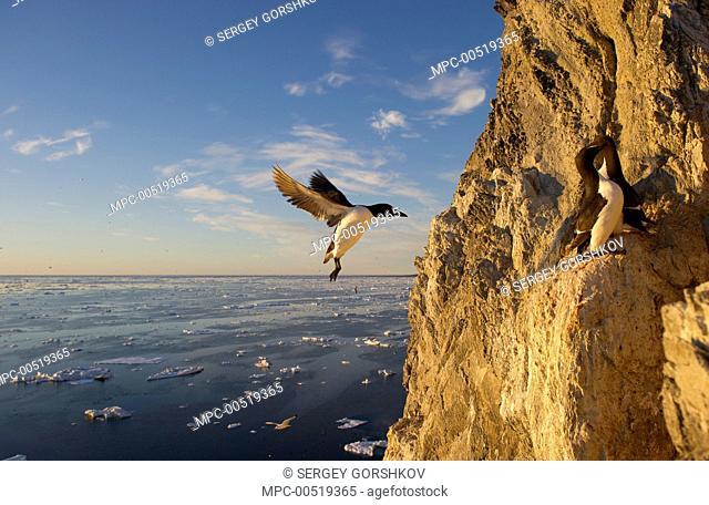 Brunnich's Guillemot (Uria lomvia) landing on cliff, Wrangel Island, Russia