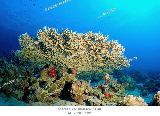 coral reef in Ras Muhammad National Park, Sinai Peninsula, Sharm el-Sheikh, Red sea, Egypt, Africa