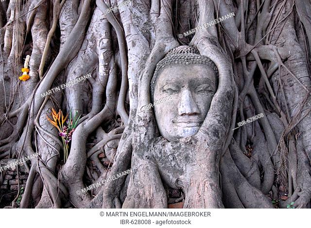 Buddha head overgrown with roots from a Sacred Fig or Bo Tree (Ficus religiosa), Wat Mahathat, Ayutthaya, Thailand, Southeast Asia, Asia