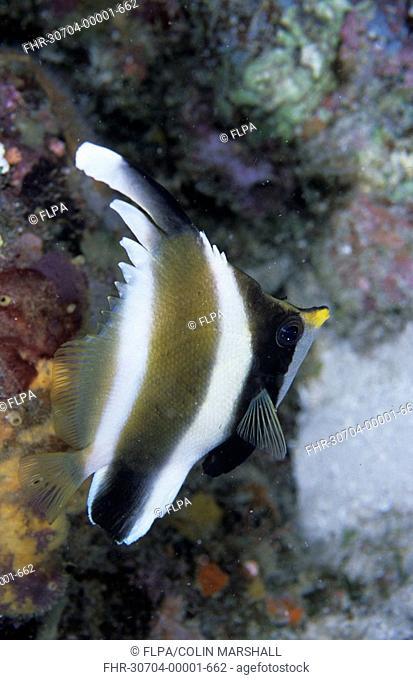 Pennant Bannerfish Heniochus chrysostomus Spiral Corner, Wakatobi, Sulawesi, Indonesia