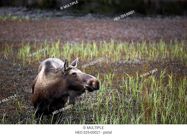 Alaskan moose in grass