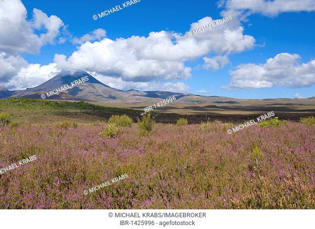 Mount Ngauruhoe volcano rises out of the blooming, heather-covered plain, Tongariro National Park, North Island, New Zealand