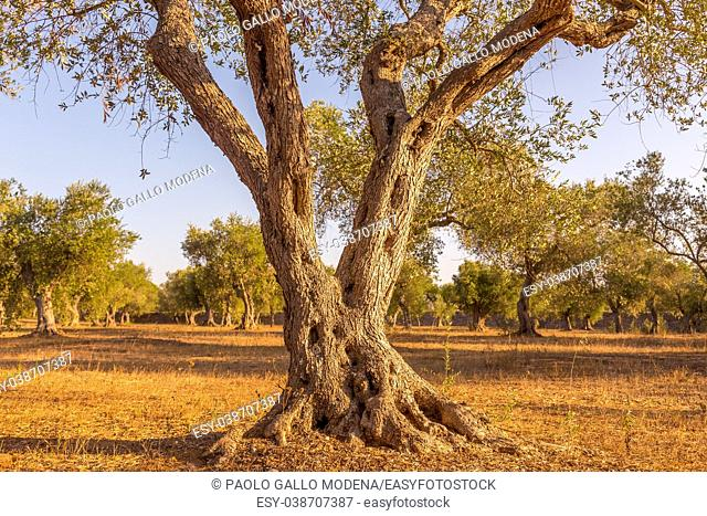 Italy, Puglia Region. One hundred years old olive tree detail
