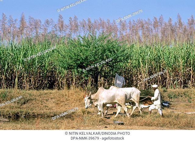 sugar cane field ; farmer and bullocks ; nasik ; maharashtra ; india