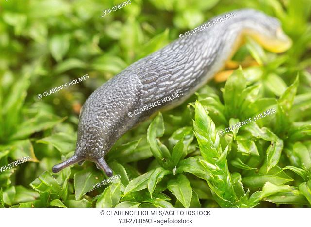 An immature Garden Slug (Arion hortensis) moves slowly on moss covered ground