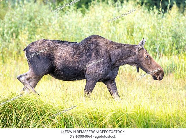 Moose walks amongst the tall grasses, Moose walks amongst the tall grasses, Grand Tetons National Park, Teton County, Wyoming. USA