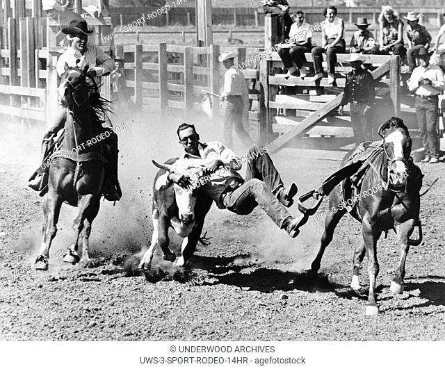 Kansas City, Missouri: c. 1955.A steer wrestler, or bulldogger grabs a 700 pound steer by the horns to bring it to a stop and then onto the ground with all four...