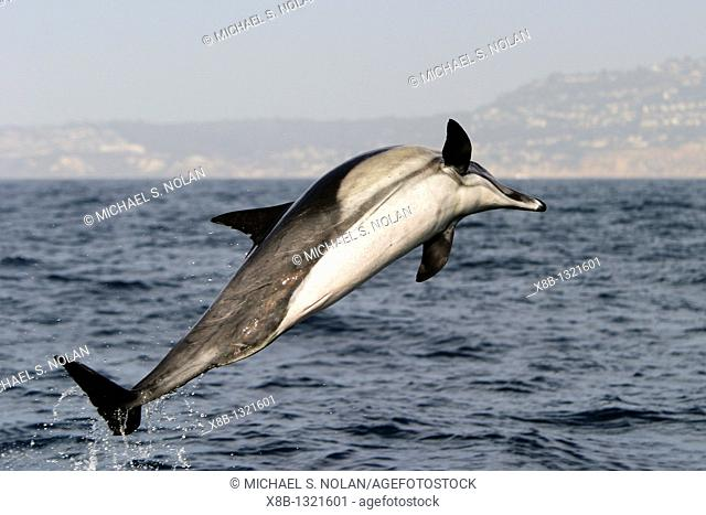 Adult male short-beaked Common Dolphin Delphinus delphis leaping offshore in Santa Monica Bay, Southern California, USA  Pacific Ocean