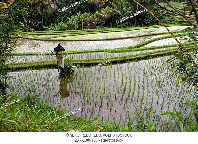 Rice field located around the Kaki Gunung temple in the center of the island near the town of Bangli. Ubud. Bali. Tegelelang it is a popular excursion for...