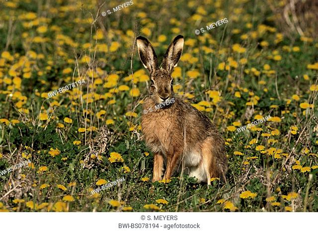European hare (Lepus europaeus), single individual in a meadow, Austria, Neusiedler See National Park