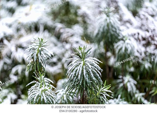 A dusting of snow on the leaves of a Euphorbia plant in a garden.Birmingham, Alabama, USA