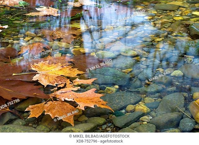 Floating leaves on a river, Ason river, Cantabria, Spain