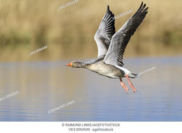 Greylag Goose, Anser anser, in flight