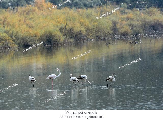 12.12.2018, Turkey, Didim: Flamingos are standing on a shore in the Bafasee. The water is an inland lake formed on the western coast of Turkey from an earlier...