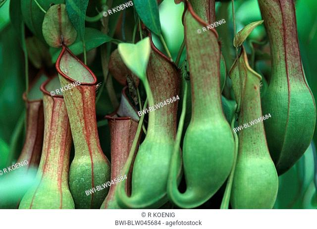 pitcher plant Nepenthes-Hybride, special leaves for catching insects