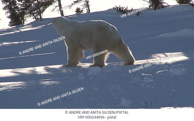 Polar Bear female walking outside of den and cub hiding under her,cub falling back in den