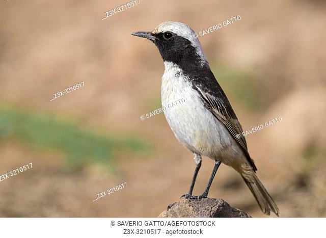 Red-rumped Wheatear (Oenanthe moesta), adult male standing on a stone in Morocco