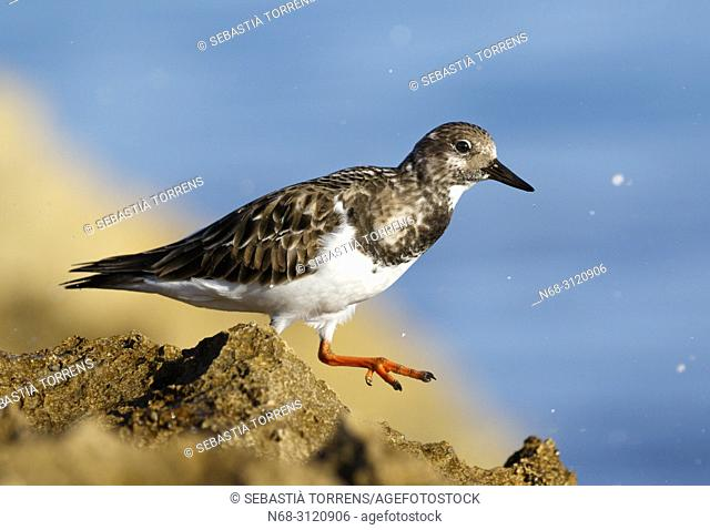 Ruddy turnstone (Arenaria interpres), Son Real, Santa Margalida, Majorca, Balearic Islands, Spain