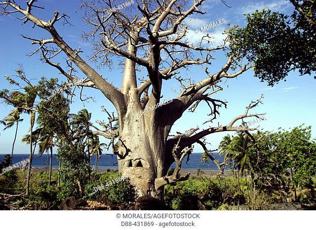 Baobab, Upside-down Tree. Adansonia digitata. Mayotte. Indian Ocean