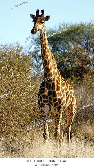 Giraffe Giraffe camelopardalis, Madikwe Game Reserve, South Africa