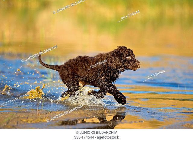 Irish Water Spaniel. Puppy running through shallow water