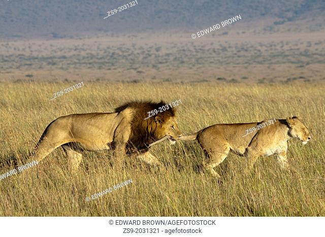 Male lion grabs a lioness (panthera leo) by the tail, Masai Mara, Kenya, East Africa