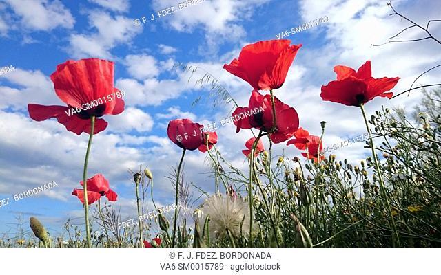 Poppies field in Monegros, aragon, Spain