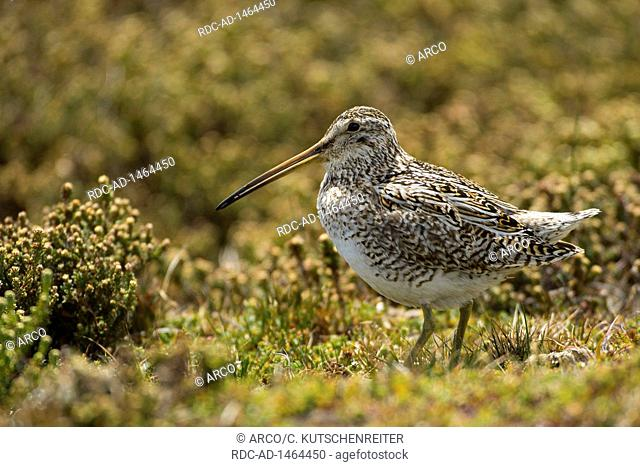 Sealion Island, Falkland Islands, United Kingdom, South American snipe, Gallinago paraguaiae
