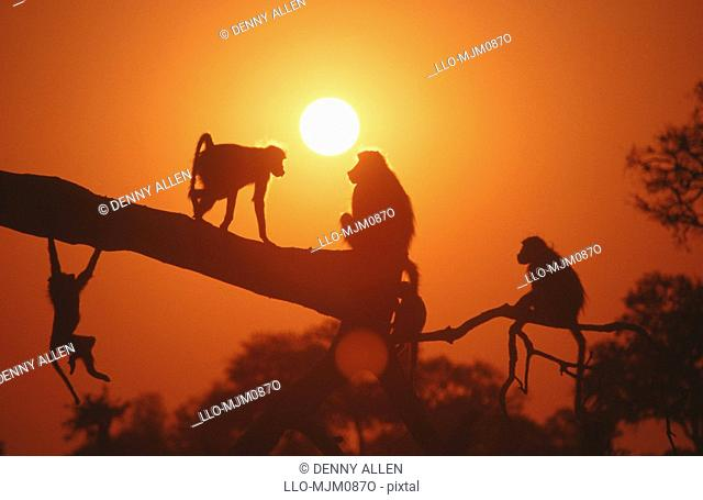 Silhouettes of Chacma Baboons, Papio ursinus playing on branch at dusk, Hwange, Matabeleland North, Zimbabwe