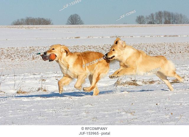 two Golden Retriever dogs in the snow