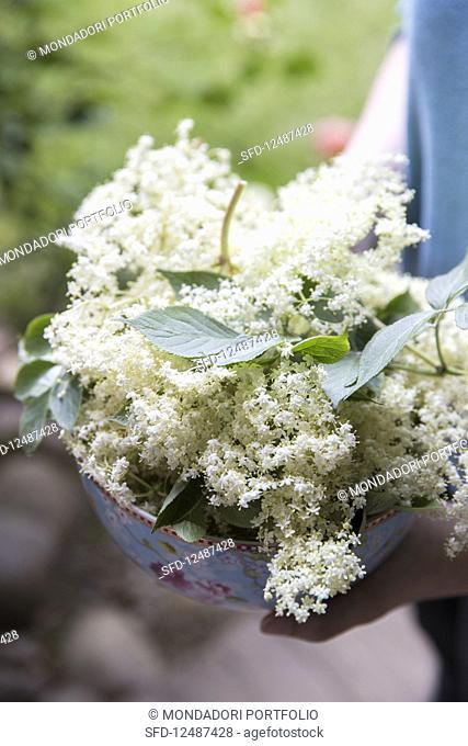 A hand holding a bowl of fresh elderflowers