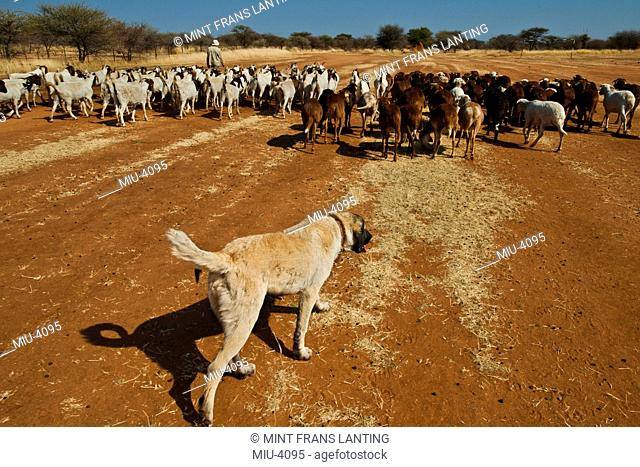 Anatolian sheepdogs trained to guard goats against predators, at the Cheetah Conservation Fund, Namibia