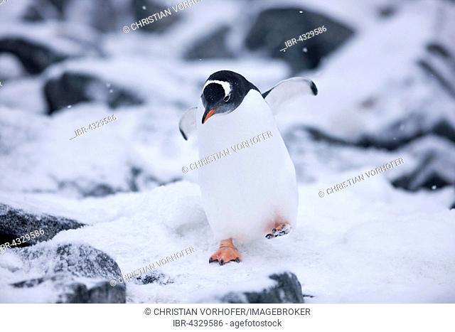 Gentoo Penguin (Pygoscelis papua) between ice and rock, Antarctic Peninsula, Antarctica