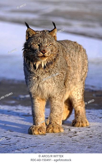Canadian Lynx Lynx lynx canadensis Felis lynx canadensis Silver Lynx