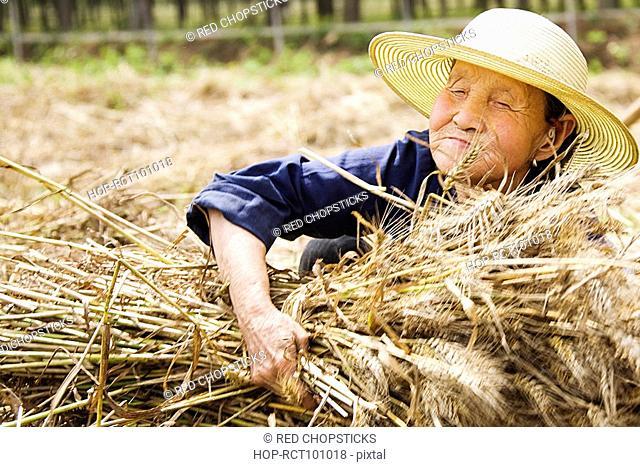 Farmer collecting bundles of wheat stalk, Zhigou, Shandong Province, China