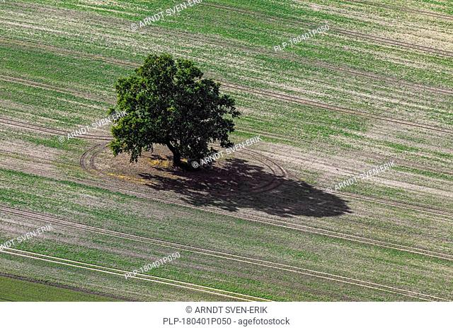 Aerial view over solitary English oak / pedunculate oak / French oak tree (Quercus robur) and its casted shadow in field on a sunny day