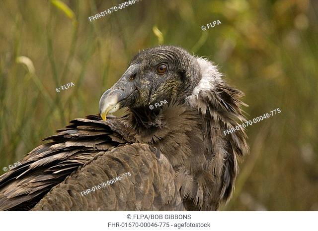 Andean Condor Vultur gryphus immature, close-up of head, in high paramo, Andes, Ecuador