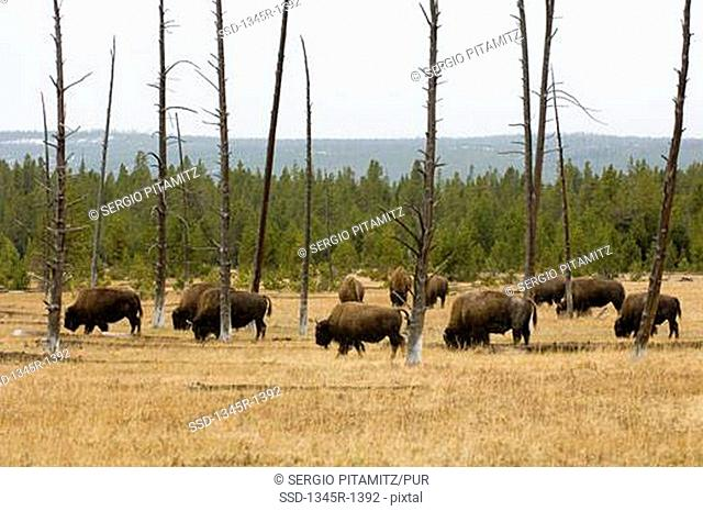 Herd of American bisons Bison bison grazing in a field, Yellowstone National Park, Wyoming, USA