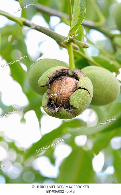 Common Walnut (Juglans regia) on a tree