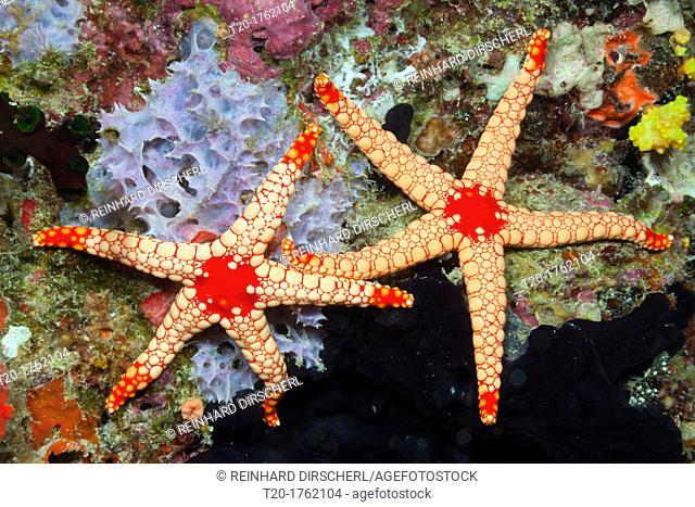 Red Mesh Starfish, Fromia monilis, Baa Atoll, Indian Ocean, Maldives