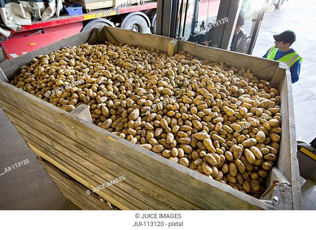 Workers behind large bin of potatoes on forklift in factory
