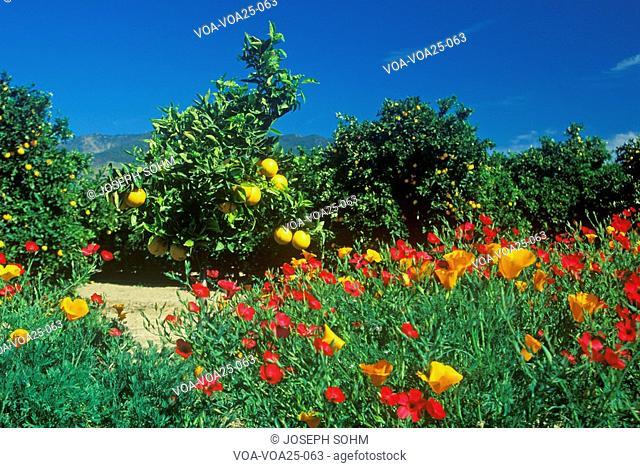 Spring flowers in Orange Groves, Ventura County, CA