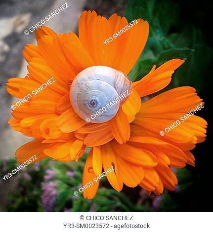 A snail perches on an orange flower in Prado del Rey, Sierra de Grazalema, Andalusia, Spain