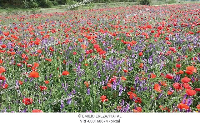 Wild flowers field. Lleida, Catalonia, Spain, Europe