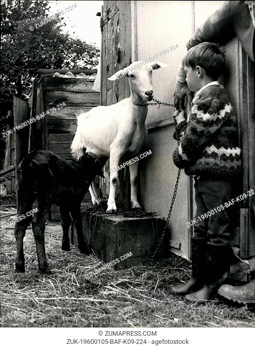 1962 - A New Job for the Nanny. Nanny the goat, at Roy Edgington's smallholding at Kensworth, Beds, has certainly found herself and unusual job