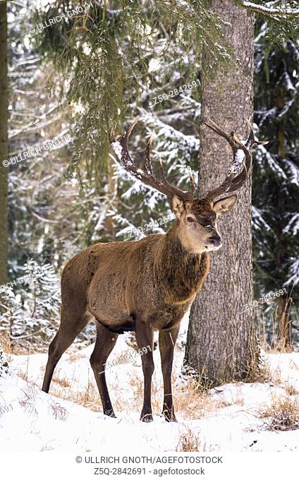 Male red deer (Cervus elaphus) in a snowy wintery forest