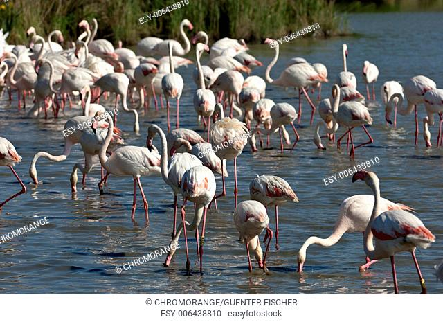 A flock of Greater Flamingos in a lake, Camargue, France