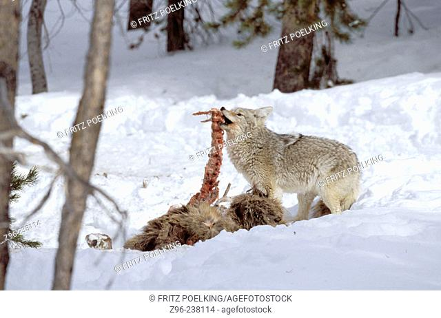 Coyote (Canis latrans) and dead Wapiti (Cervus canadensis). Yellowstone NP. Wyoming. USA