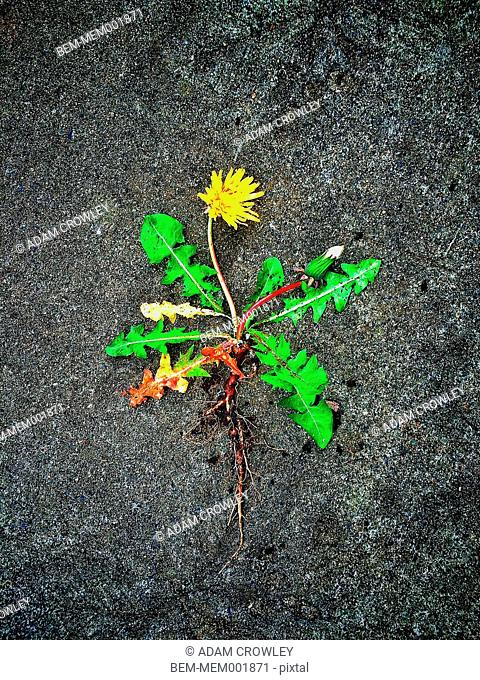 Dandelion root and leaves on concrete