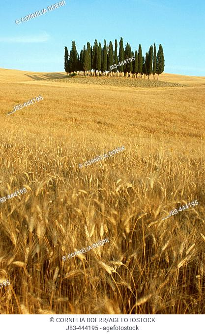 Cypress trees in wheat field, Val d'Orcia, Siena province, Tuscany, Italy